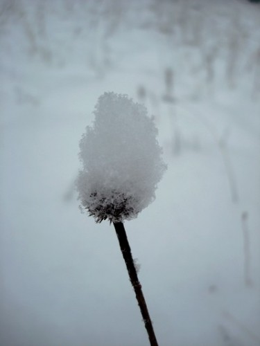 fleurs de neige small.JPG