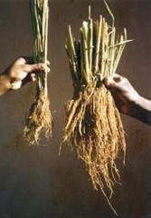 plants-riz.jpg